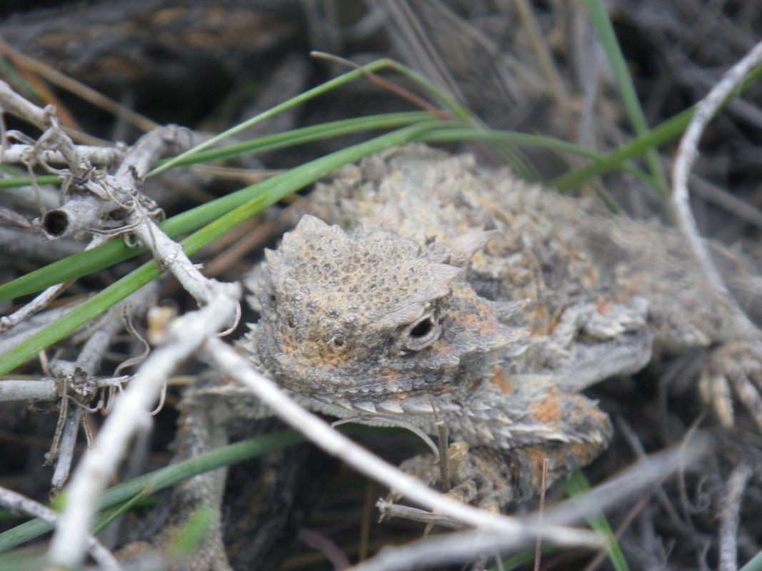 owyhee-horney-toad-1