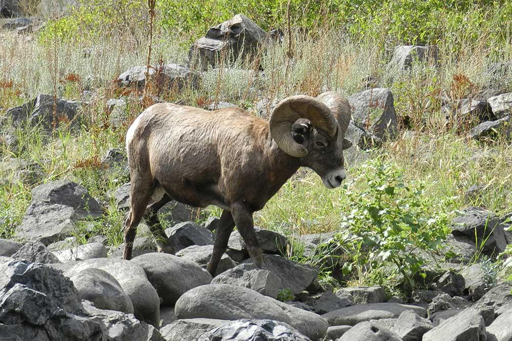 big horn sheep salmon river canyons