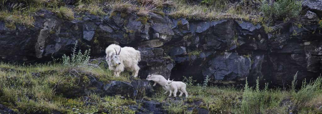 Wallowa-Grande-Ronde-goats